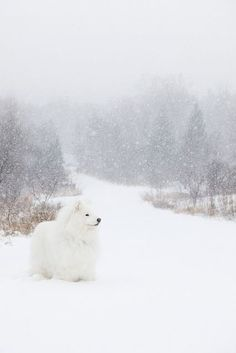Country Winter   Quiet Winter   Nature's Winter Samoyed Dogs, Pet Dogs, Dog Cat, Doggies, Animals And Pets, Baby Animals, Cute Animals, Beautiful Dogs, Animals Beautiful