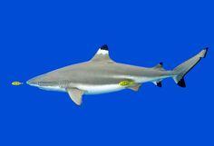 Muy Interesante Black Tip Shark, Stingrays, Sharks, Billionaire, Whale, Fighter Jets, Luxury, Animals, Collection