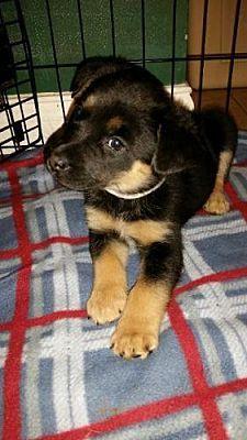 St Louis Mo Shepherd Unknown Type Meet Tina Turner A Dog