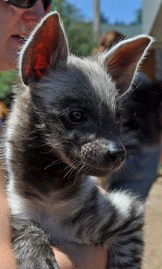 Striped Hyena Baby Grows Up Unique Animals, Cute Baby Animals, Animals And Pets, Cute Creatures, Beautiful Creatures, Animals Beautiful, Striped Hyena, Wolf Hybrid, Elephas Maximus