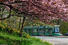 Helsinki: A tram on Helsinginkatu street seen from under a blooming cherry tree in the district of Taka-Töölö. The tree standing on Mäntymäki hill can be seen in a picture taken on May Cherry Tree, Helsinki, Finland, 21st, Bloom, Sky, Mansions, Architecture, Street