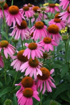 For more information about Echinacea purpurea 'Kim's Red Knee High'