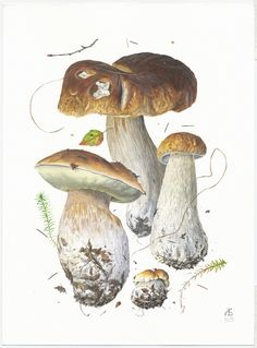 http://www.pelcor.com/mushrooms/PagesOriginals/Boletus edulis VOr.html