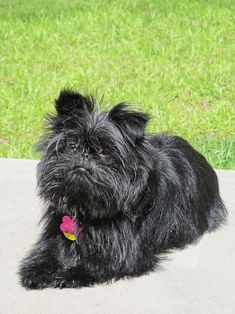 Ranked as one of the most popular dog breeds in the world, the Miniature Schnauzer is a cute little square faced furry coat. Best Small Dogs, All Small Dog Breeds, Most Popular Dog Breeds, Lhasa Apso, Pelo Color Gris, Dog Breed Names, German Dog Breeds, Dog Breeds List, Dog Shedding