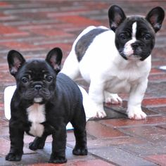 Rose ear Frenchies