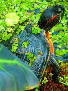 I have seen numerous suggestions for Russian tortoise diet Some great Some awful. Russian Tortoises are nibblers and appreciate broad leaf plants. Kinds Of Turtles, Cute Turtles, Baby Turtles, Tortoise Care, Tortoise Turtle, Animals Beautiful, Cute Animals, Aquatic Turtles, Turtle Time