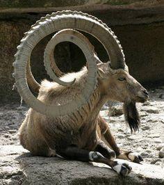 The ram!