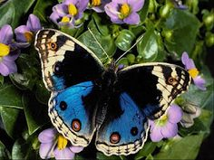 Butterfly - Blue Pansy