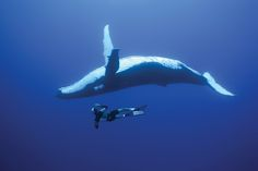 Free diving with a Humpback Whale... would be SO awesome