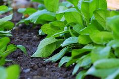 How To Grow Spinach - Recommended Tips Growing Spinach, Companion Gardening, Vegetable Garden, Herbs, Vegetables, Stairs, Construction, Display, Food