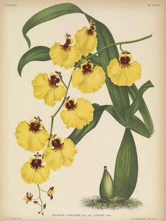 Oncidium a Veines Renflées, variété de Linden. Gomesa varicosa [as Oncidium varicosum] Lindenia- iconography of orchids vol. 16 (1901)
