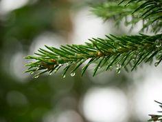 Rain drops on a spruce