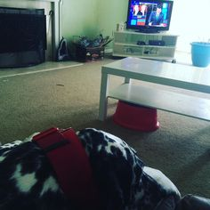 It's dog treats and @stephencolbert to start another snow day with these damn human children. #dogsofinstagram #dalmatian #snowday