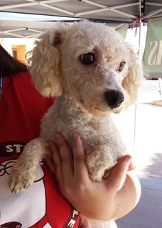 Meet CeeDee, an adoptable Bichon Frise looking for a forever home. If you're looking for a new pet to adopt or want information on how to get involved with adoptable pets, Petfinder.com is a great resource.