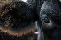 Close-up Cow eye sanctuary portrat