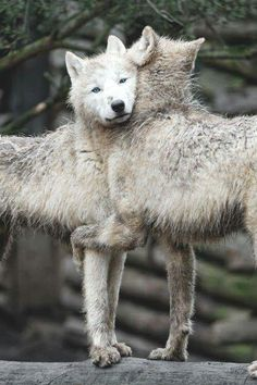 *hug* Wolves aren't mean... they do love-- their family.