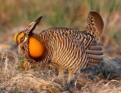 Greater Prairie-Chicken                      Behold! The Prairie Chicken (The Conservation Fund)    The Greater Prairie-Chicken once was found in abundance across much of the Midwest. But populations have declined to near extinction over the past century.Today, it is still losing ground—literally.  Photo prairiechicken doug dance @ flickr