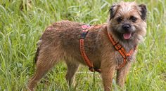 wire haired dog breeds list