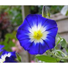 buy convolvulus arvensis, Morning glories seeds, plant the morning glory in your home garden. morning glory flower is easy to grow.