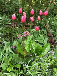 Tulips Little Acorns, Planting, Tulips, Garden Design, Fruit, Ideas, Plants, Landscape Designs, Tulip