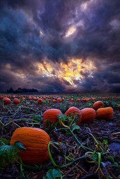 Pumpkin patch under stormy skies