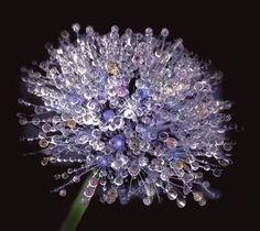 Dewy dandelion. Fabulous!