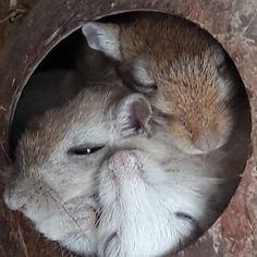 Gerbil, Rabbit, Animals, Bunny, Rabbits, Animales, Animaux, Bunnies, Animal