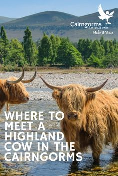 Meet Highland Cows in the Cairngorms Image: Steve Neal Scotland Trip, England And Scotland, Scotland Travel, Cairngorms National Park, Honeymoons, Adventure Awaits, Cows, National Parks, Places To Visit