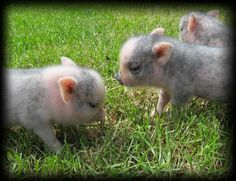 I WILL own a Tea Cup Pig someday!