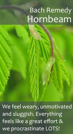 Bach Remedy - HORNBEAM - Take Hornbeam, as soon as you become aware of that lurking heaviness, to break down the very dense energy around you. You will gradually (and sometimes quite rapidly) feel that heavy cloak drop to the floor. Such a good feeling! As Hornbeam works it's magic you'll reconnect with your motivation and find that you are getting things done again. Everything will feel lighter, easier and more flowing.