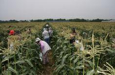 旭市トウモロコシ収穫