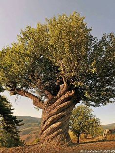beautiful old tree