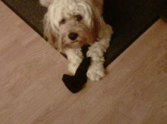 #AndersonPets @Anderson  A silly sock stealer