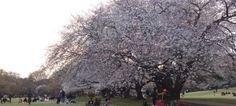 砧公園でお花見 Cherry blossom viewing at Kinuta Park