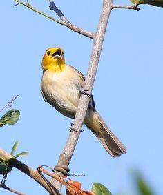Foto saí-canário (Thlypopsis sordida) por Daniel Mello | Wiki Aves - A Enciclopédia das Aves do Brasil