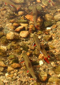 Spawning brook trout in Rocky Mountain National Park.
