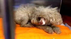 Miniature poodle stray so neglected and so terrified at busy California shelter