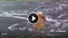 Subhanallah, Lumba-lumba Tolong Seekor Anjing Lolos dari Kawanan Hiu Ganas