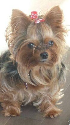 Adoralbe yorkies! #yorkshireterrier Yorkies, Yorkie Puppy, Morkie Puppies, Teacup Yorkie, Cute Puppies, Cute Dogs, Dogs And Puppies, Yorky Terrier, Animals And Pets