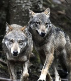 Gordon Buchanan Animals Of The World, Animals And Pets, Cute Animals, Beautiful Creatures, Animals Beautiful, Wolf Husky, Wolf Spirit Animal, Wolf Stuff, Wolf Love