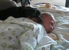 This minpin guards the new baby. Our dog Lobster looks and acts just like this--he is definitely in charge of our family.