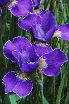 Iris siberica 'Silver Edge' Fotografia de John Glover, uno de los primeros y de los mas importantes fotografos de jardin del Reino Unido