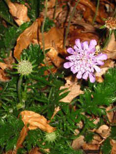 Scabiosa still blooming...