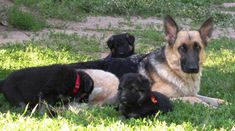 Colorado German Shepherds Crystal Creek Shepherds Denver Colorado German Shepherd Breeder, puppies, Canidae Pet Food. and Pet Products and Supplements
