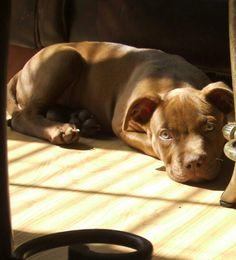 Puppy 5 Pitbulls, Puppies, Dogs, Animals, Animales, Puppys, Animaux, Pitt Bulls, Pet Dogs