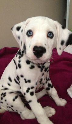 Dalmatian Puppy with blue eyes, beautiful