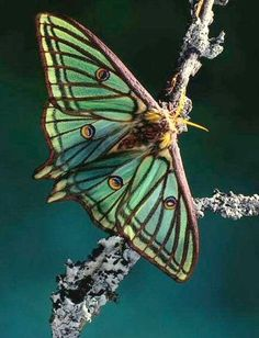 Spanish Moon Moth -- Graellsia isabellae (this is NOT photo-shopped!)