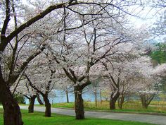 Cherry Blossoms in High Park, Toronto