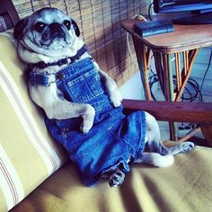 A pug.  Sitting up.  In overalls.