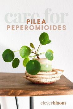 How to care for Pilea peperomioides a.a Chinese Money Plant, Missionary Plant, Friendship Plant and UFO plant. All the tips and tricks you need to care for this beautiful plant. Care, Propagation, and tips by Clever Bloom Plants In Jars, Water Plants, Calming Jar, Chinese Money Plant, Growing Greens, House Plant Care, Propagation, Indoor Plants, Indoor Gardening